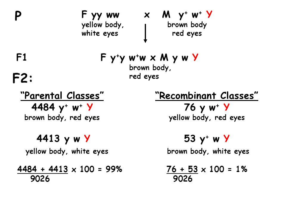 """""""Parental Classes""""""""Recombinant Classes"""" 4484 y + w + Y76 y w + Y brown body, red eyes yellow body, red eyes 4413 y w Y53 y + w Y yellow body, white ey"""