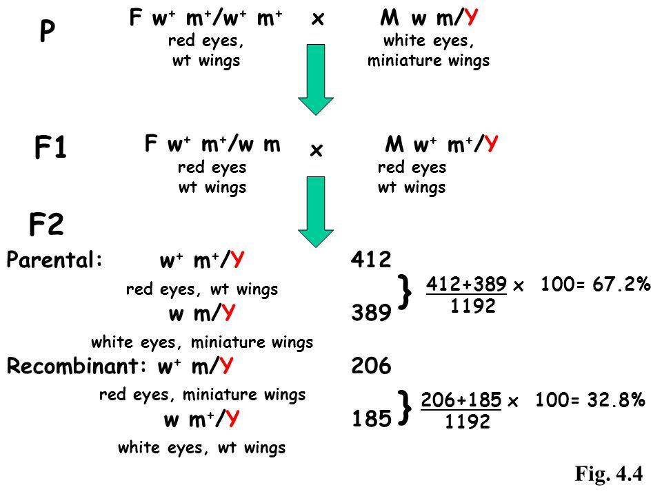 F2 F w + m + /w + m + x M w m/Y red eyes, white eyes, wt wingsminiature wings P F1 F w + m + /w m red eyes wt wings M w + m + /Y red eyes wt wings x P