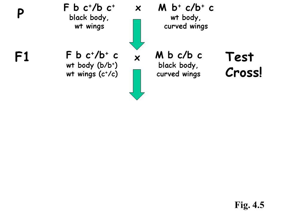 F b c + /b c + x M b + c/b + c black body, wt body, wt wingscurved wings P F1 F b c + /b + c wt body (b/b + ) wt wings (c + /c) M b c/b c black body,