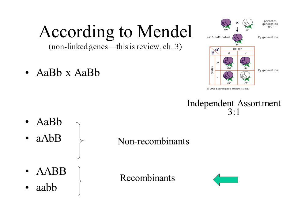 According to Mendel (non-linked genes—this is review, ch.