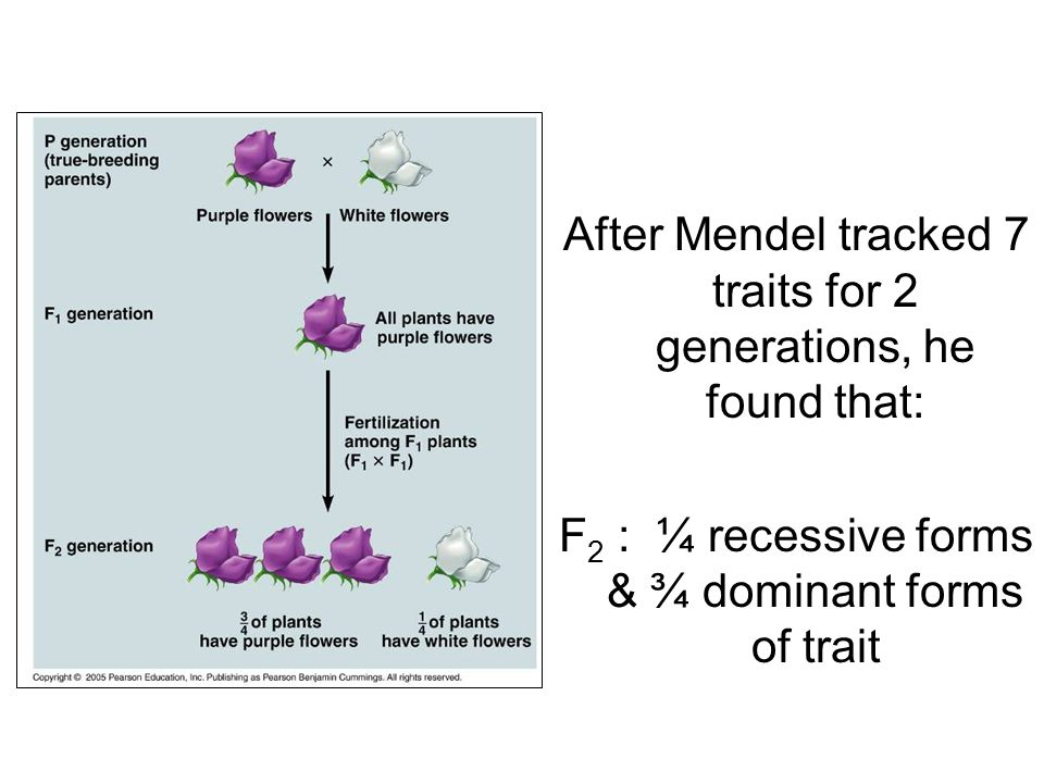 After Mendel tracked 7 traits for 2 generations, he found that: F 2 : ¼ recessive forms & ¾ dominant forms of trait