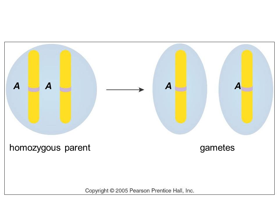 homozygous parent AAAA gametes