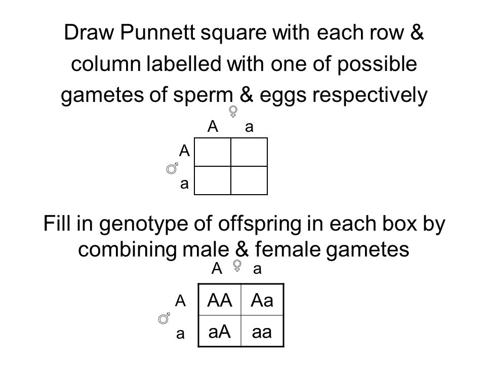 Draw Punnett square with each row & column labelled with one of possible gametes of sperm & eggs respectively Fill in genotype of offspring in each box by combining male & female gametes A A A A a a a a AAAa aAaa