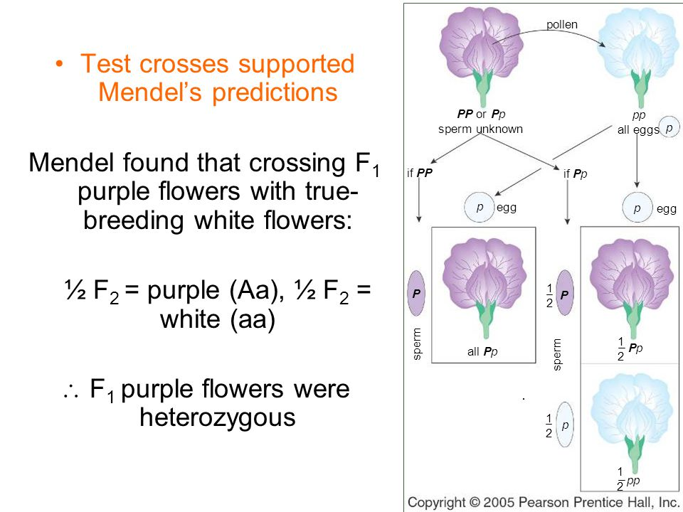 Test crosses supported Mendel's predictions Mendel found that crossing F 1 purple flowers with true- breeding white flowers: ½ F 2 = purple (Aa), ½ F 2 = white (aa)  F 1 purple flowers were heterozygous sperm p p P pp PpPp all eggs PP or Pp sperm unknown if PP if Pp egg pollen p 1212 1212 1212 P p 1212 all Pp sperm