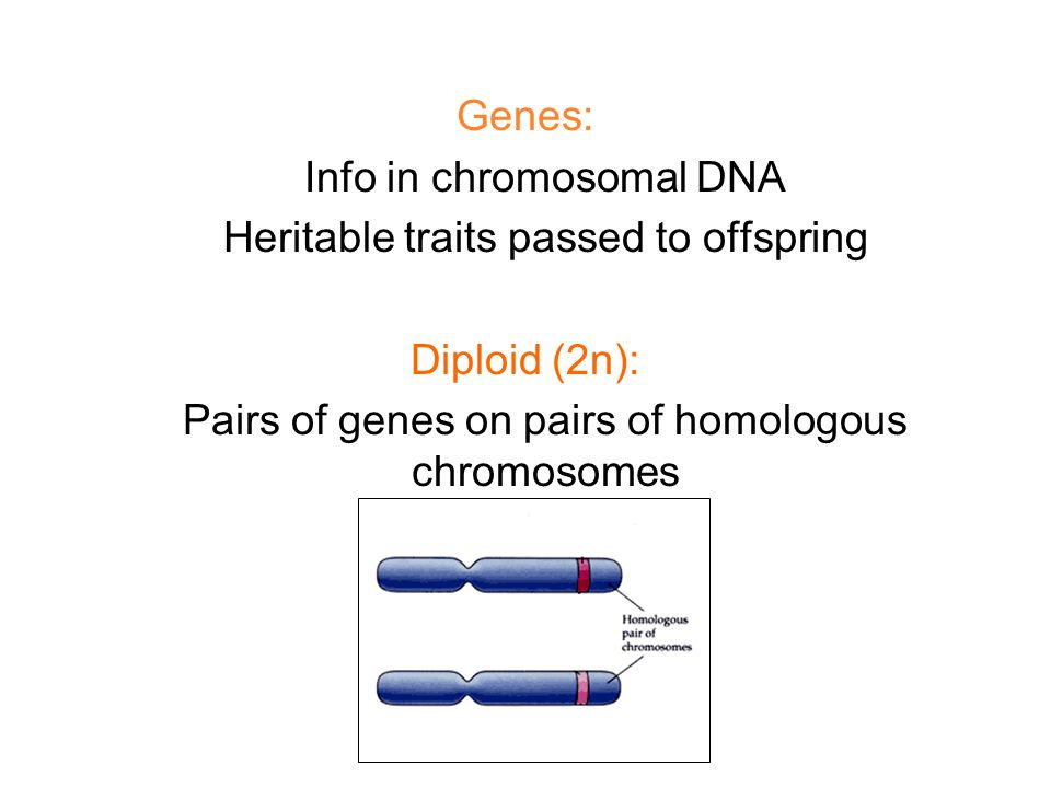 Genes: Info in chromosomal DNA Heritable traits passed to offspring Diploid (2n): Pairs of genes on pairs of homologous chromosomes