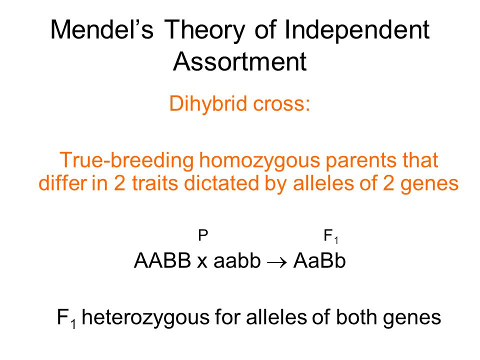 Mendel's Theory of Independent Assortment Dihybrid cross: True-breeding homozygous parents that differ in 2 traits dictated by alleles of 2 genes P F 1 AABB x aabb  AaBb F 1 heterozygous for alleles of both genes