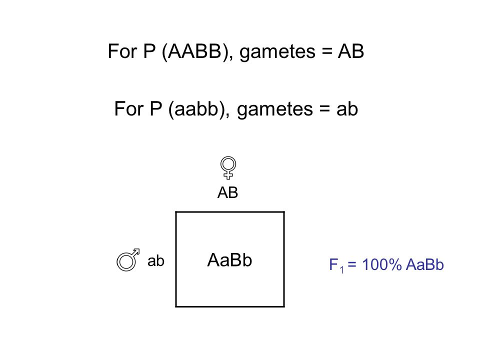 ab AB F 1 = 100% AaBb AaBb For P (AABB), gametes = AB For P (aabb), gametes = ab