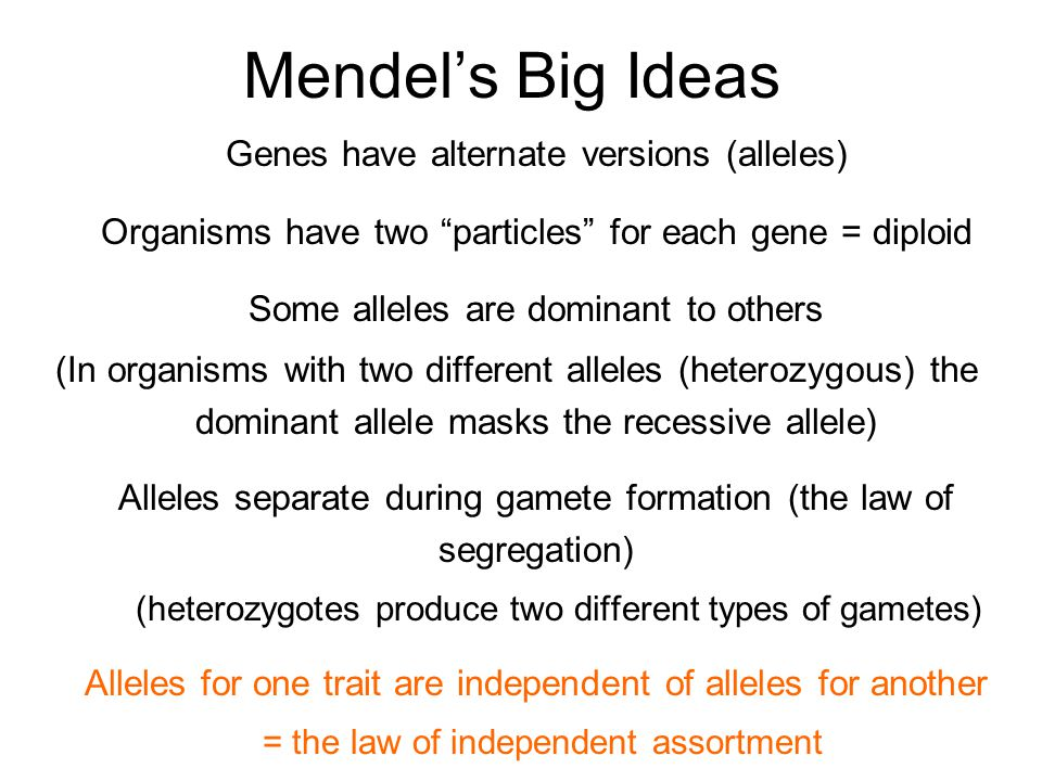 Mendel's Big Ideas Genes have alternate versions (alleles) Organisms have two particles for each gene = diploid Some alleles are dominant to others (In organisms with two different alleles (heterozygous) the dominant allele masks the recessive allele) Alleles separate during gamete formation (the law of segregation) (heterozygotes produce two different types of gametes) Alleles for one trait are independent of alleles for another = the law of independent assortment