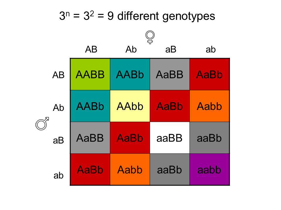 AABBAABbAaBBAaBb AABbAAbbAaBbAabb AaBBAaBbaaBBaaBb AaBbAabbaaBbaabb AB Ab aB ab aBAbAB 3 n = 3 2 = 9 different genotypes