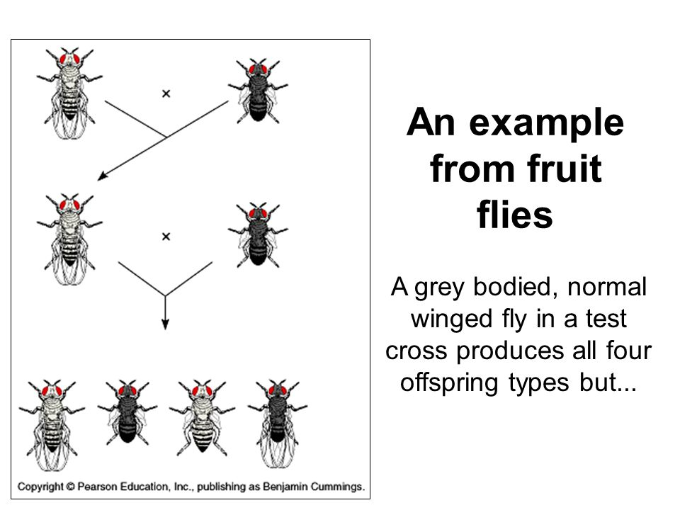 An example from fruit flies A grey bodied, normal winged fly in a test cross produces all four offspring types but...