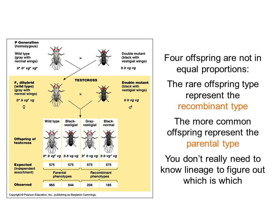 Four offspring are not in equal proportions: The rare offspring type represent the recombinant type The more common offspring represent the parental type You don't really need to know lineage to figure out which is which