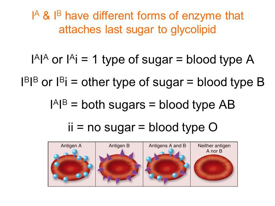 I A I A or I A i = 1 type of sugar = blood type A I B I B or I B i = other type of sugar = blood type B I A I B = both sugars = blood type AB ii = no