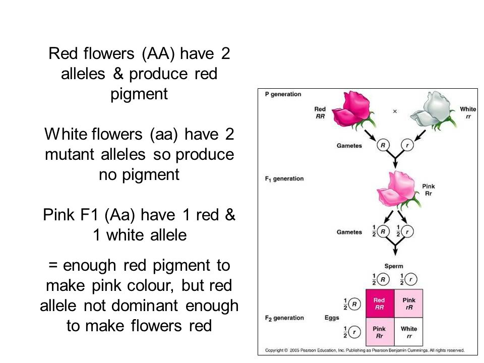 Red flowers (AA) have 2 alleles & produce red pigment White flowers (aa) have 2 mutant alleles so produce no pigment Pink F1 (Aa) have 1 red & 1 white allele = enough red pigment to make pink colour, but red allele not dominant enough to make flowers red