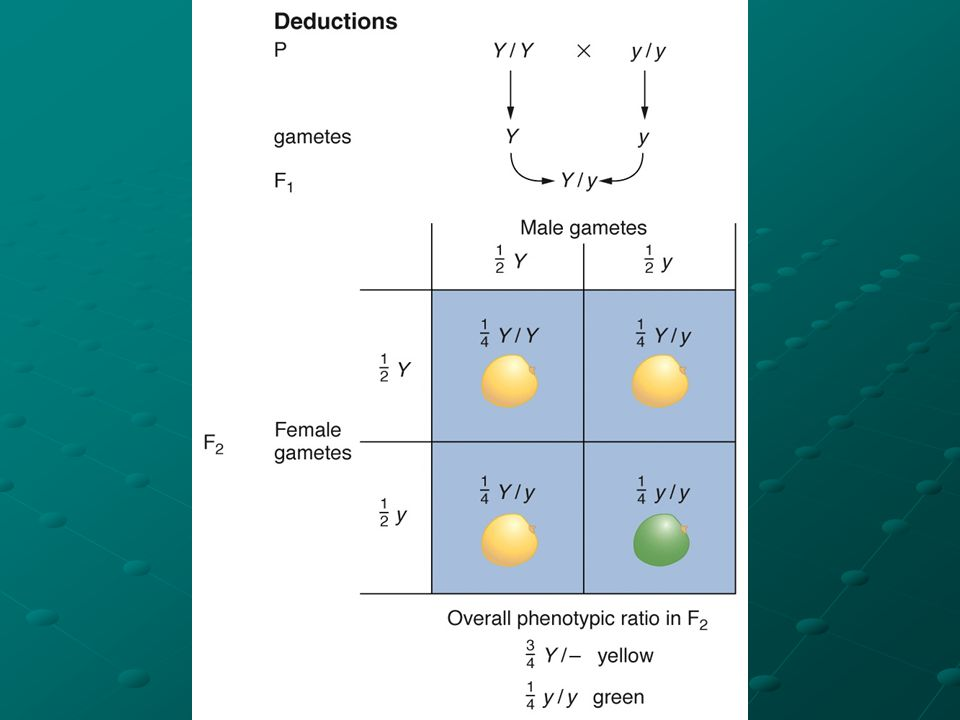 Points 4 & 5: 4) gametic content – the F2 3:1 ratio is based on a 1:1 segregation in a heterozygote segregation in a heterozygote 5) random fertilization – gametes are brought together for fertilization in a random manner for fertilization in a random manner