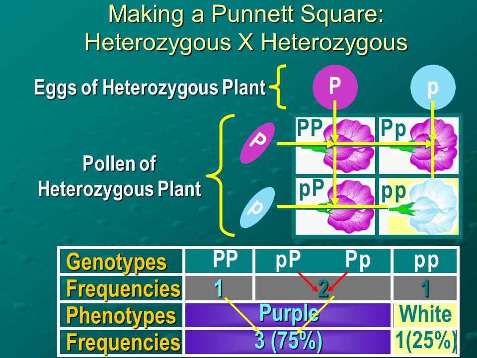 C. Using Punnett Squares in Genetic Crosses Punnett squares used for monohybrid crosses Considers only genes of interest Considers only genes of inter