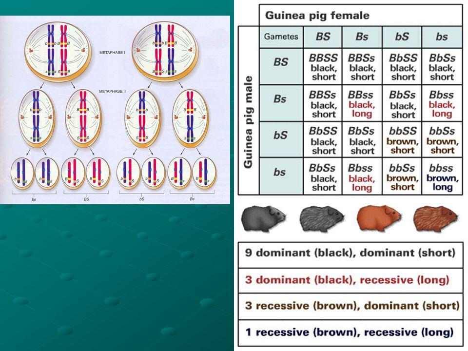 (Hair color) & (Hair length) Black/Brown Short/Long P: Black, short x Brown, long F 1 : all black, short F 2 : Black, short x Black, short: BbSs x BbSs