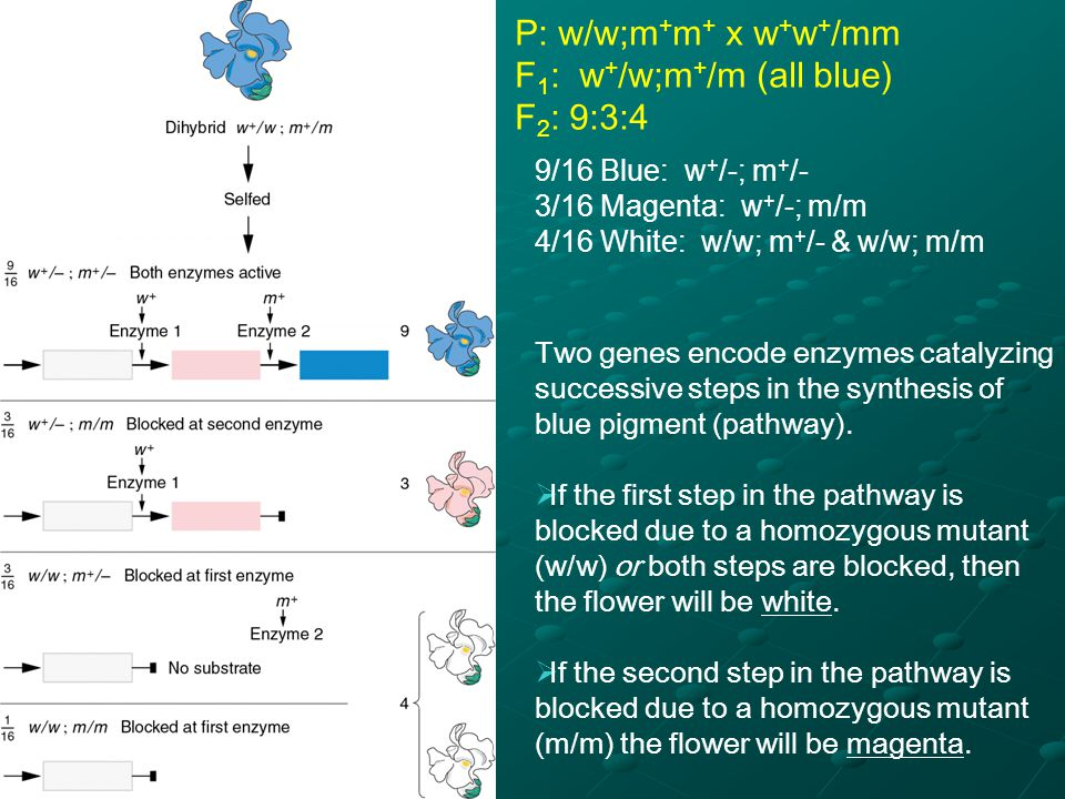 2 genes: bw + & st +, both necessary for red eye (wild type eye color in Drosophila)
