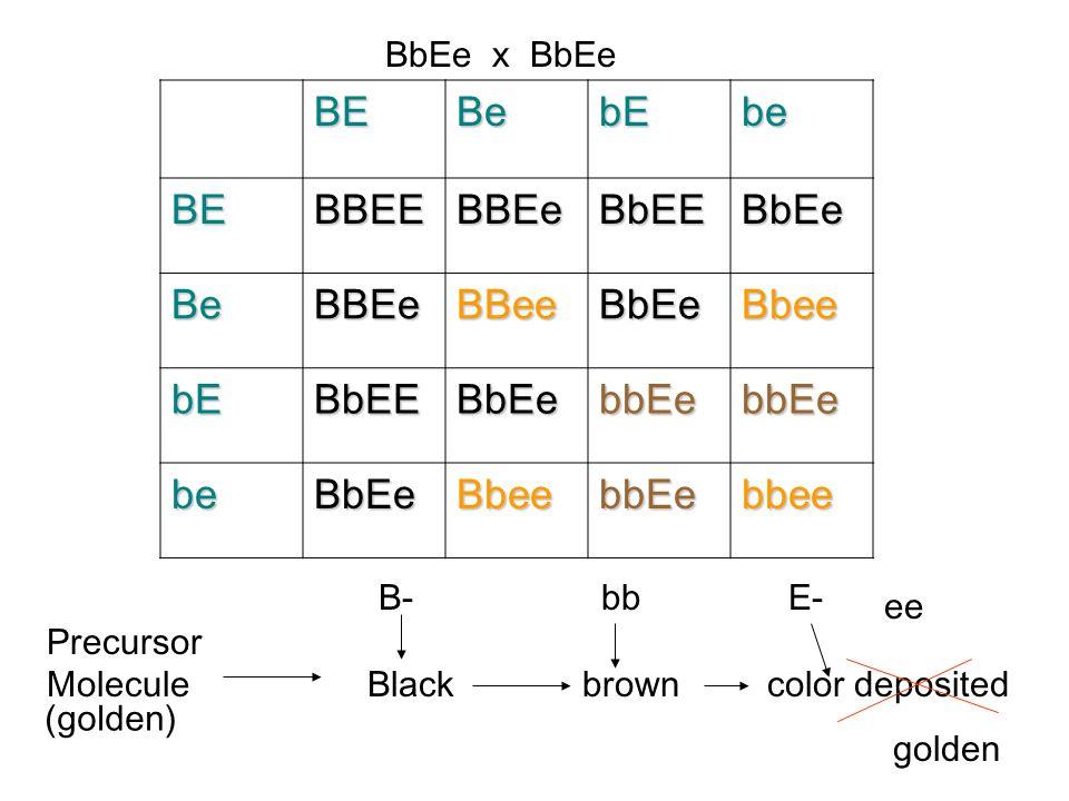 B- (black) bb (Brown) E- (color deposition) B/B, E/EB/B, e/e b/b, E/E The progeny of a dihybrid cross would be 9:3:4, black, brown, golden.
