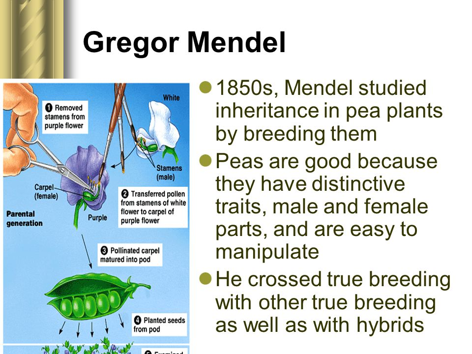 Gregor Mendel 1850s, Mendel studied inheritance in pea plants by breeding them Peas are good because they have distinctive traits, male and female par