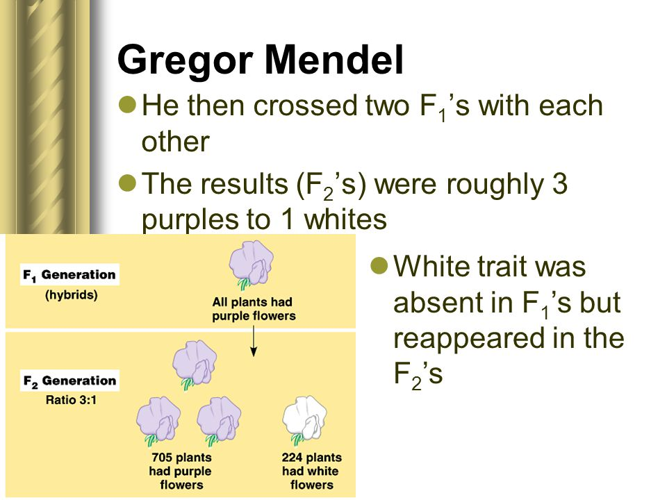 Gregor Mendel He then crossed two F 1 's with each other The results (F 2 's) were roughly 3 purples to 1 whites White trait was absent in F 1 's but