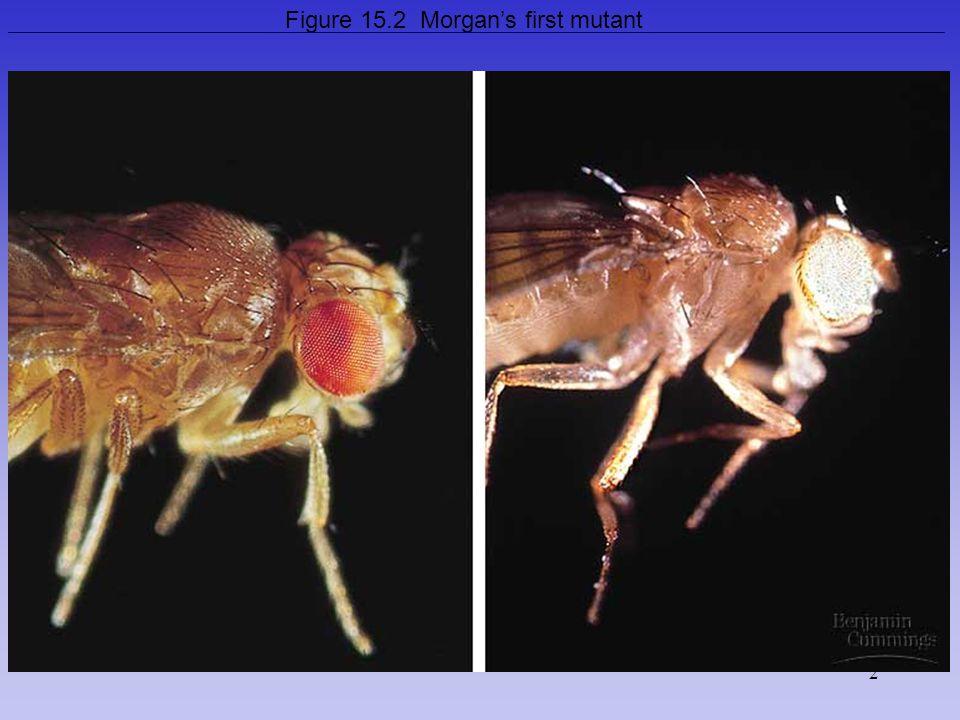 2 Figure 15.2 Morgan's first mutant