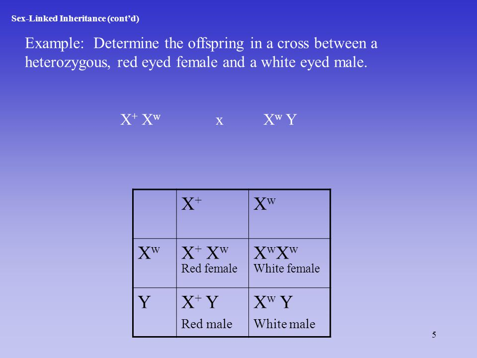 5 Sex-Linked Inheritance (cont'd) Example: Determine the offspring in a cross between a heterozygous, red eyed female and a white eyed male.
