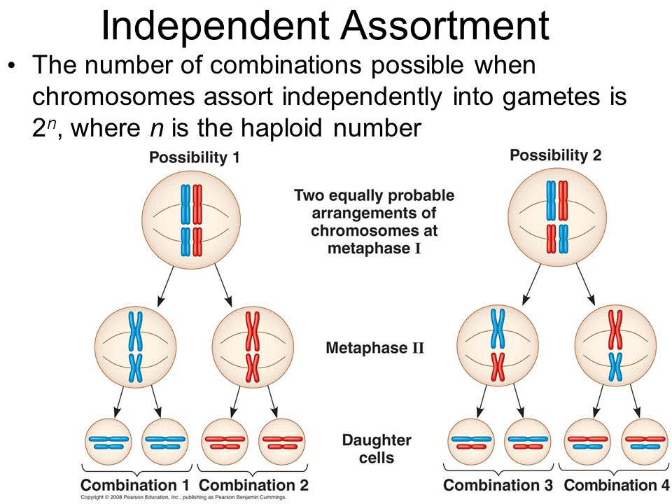 Independent Assortment The number of combinations possible when chromosomes assort independently into gametes is 2 n, where n is the haploid number