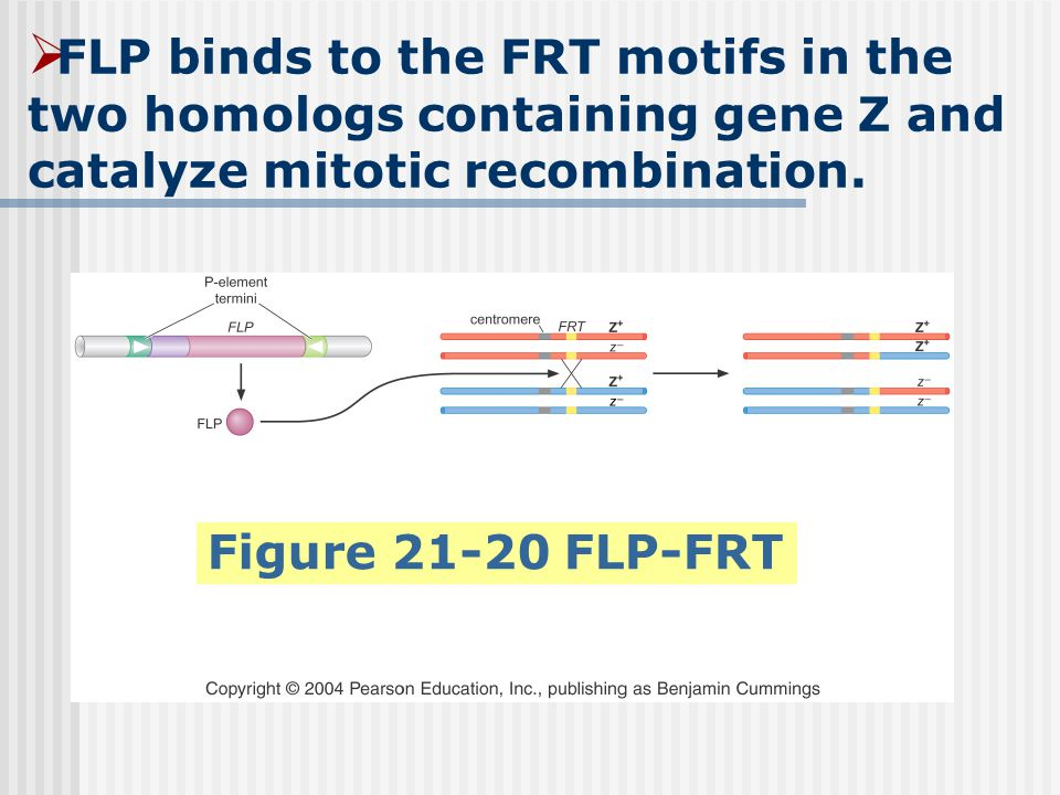 FLP binds to the FRT motifs in the two homologs containing gene Z and catalyze mitotic recombination.