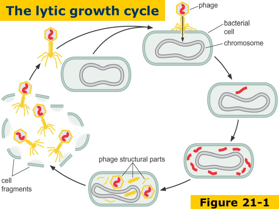 Figure 21-1 The lytic growth cycle