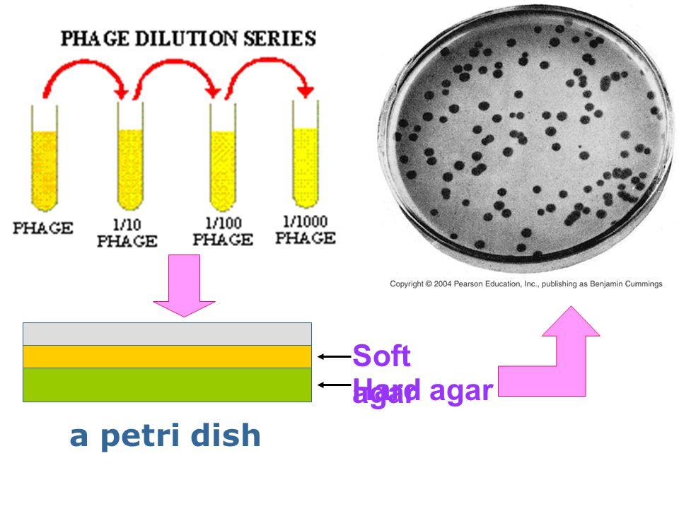 Soft agar Hard agar a petri dish