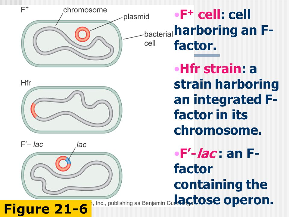F + cell: cell harboring an F- factor.