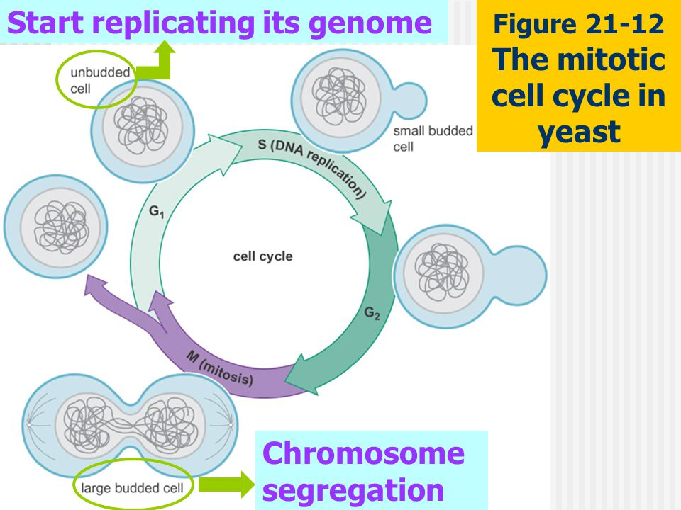 Start replicating its genome Chromosome segregation Figure 21-12 The mitotic cell cycle in yeast