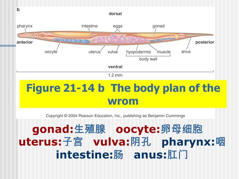 Figure 21-14 b The body plan of the wrom gonad: 生殖腺 oocyte: 卵母细胞 uterus: 子宫 vulva: 阴孔 pharynx: 咽 intestine: 肠 anus: 肛门