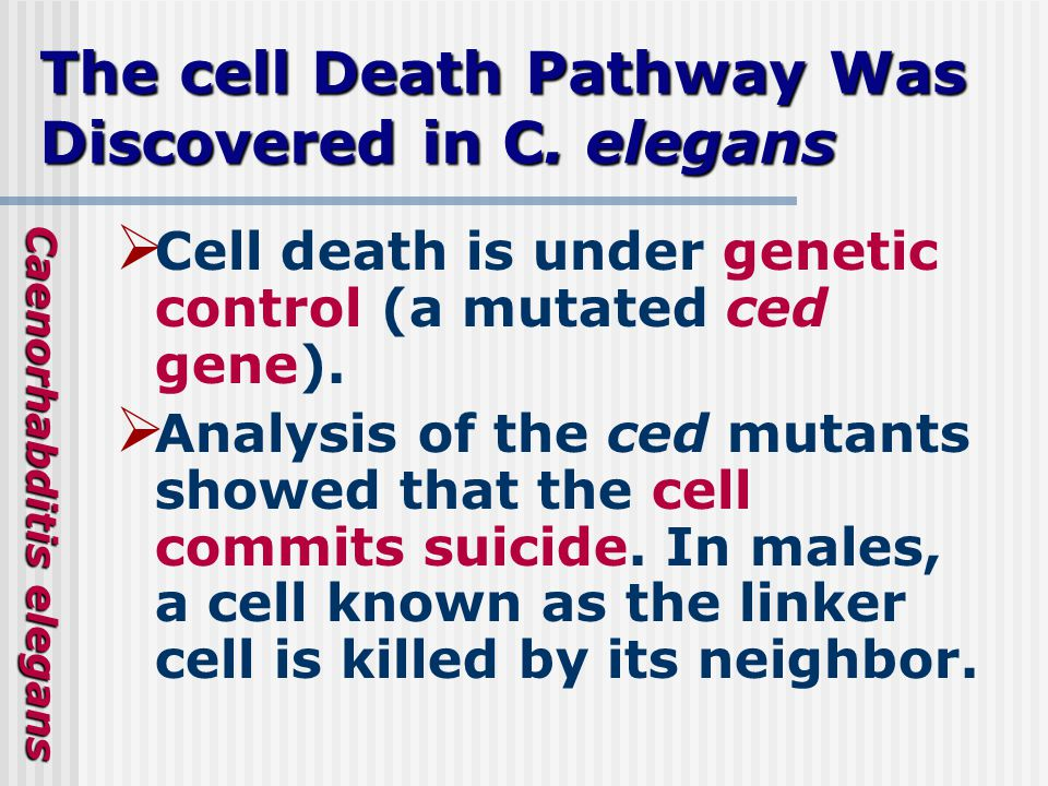 The cell Death Pathway Was Discovered in C.