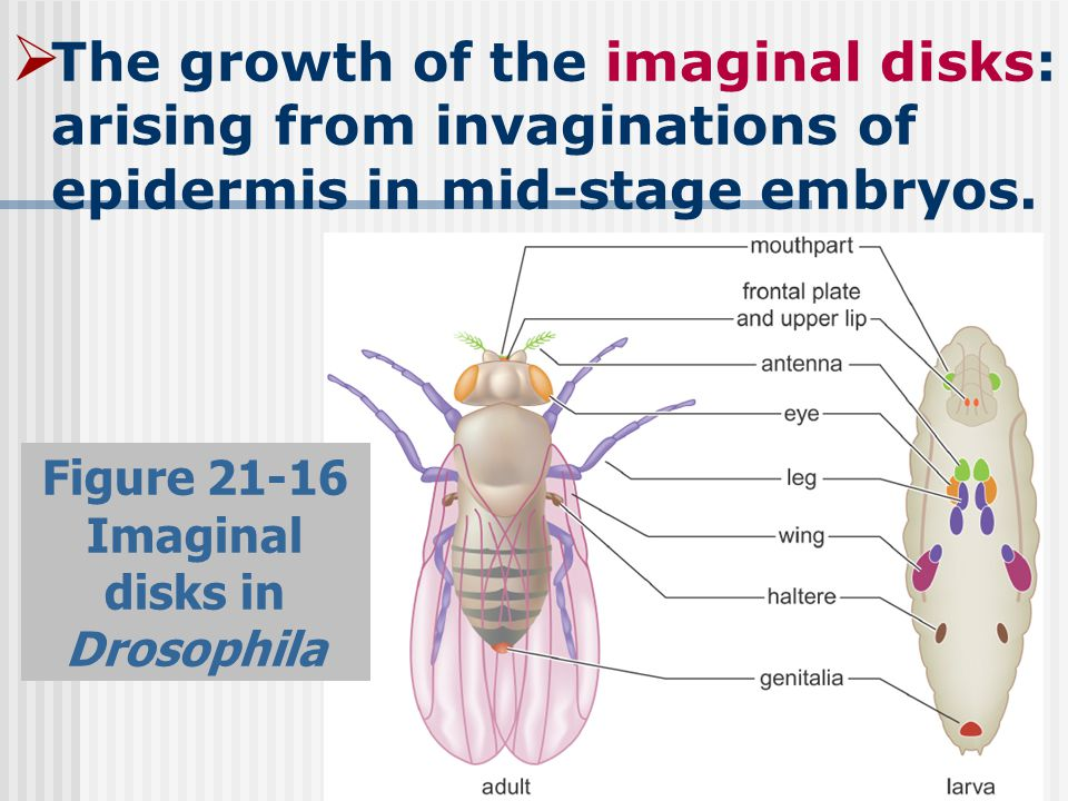  The growth of the imaginal disks: arising from invaginations of epidermis in mid-stage embryos.