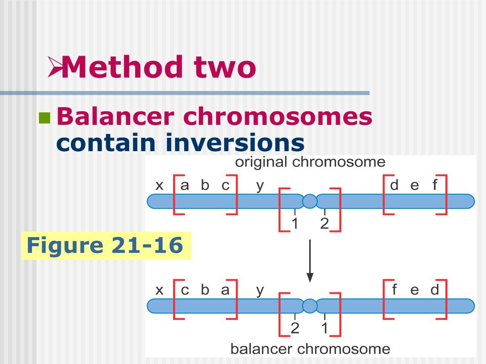  Method two Balancer chromosomes contain inversions Figure 21-16