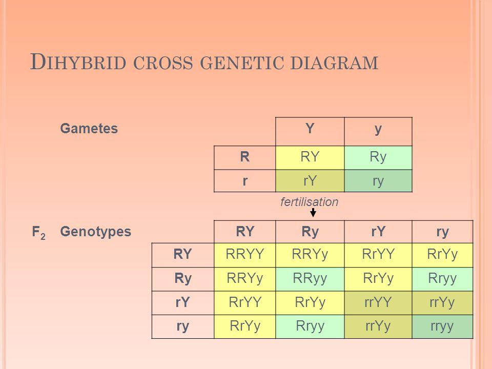GametesYy RRYRy rrYry fertilisation F2F2 GenotypesRYRyrYry RYRRYYRRYyRrYYRrYy RyRRYyRRyyRrYyRryy rYRrYYRrYyrrYYrrYy ryRrYyRryyrrYyrryy D IHYBRID CROSS GENETIC DIAGRAM