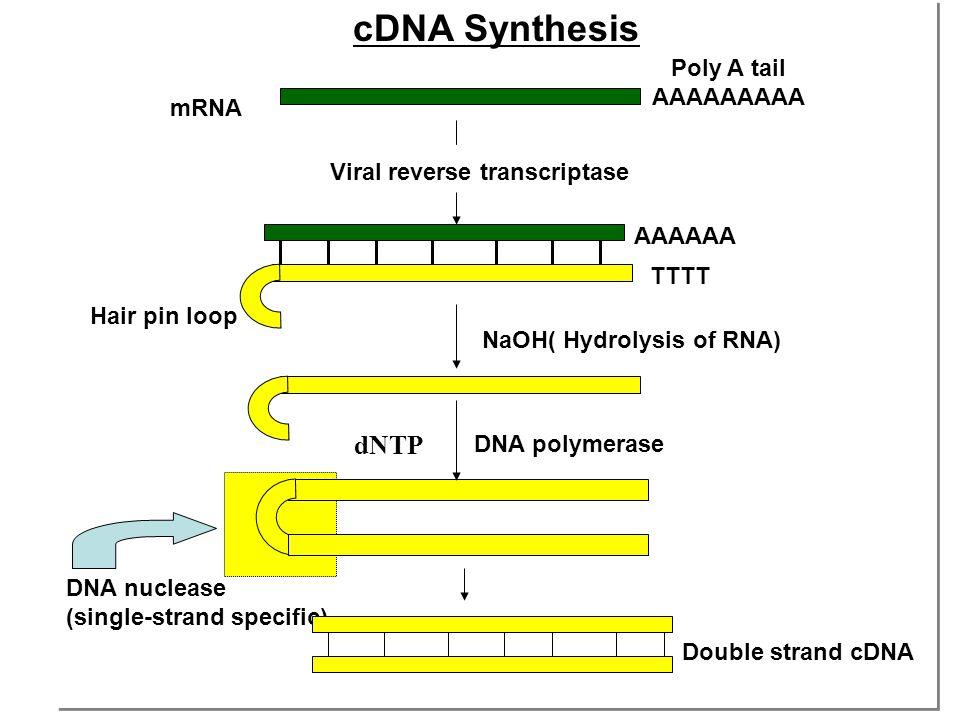 cDNA Synthesis cDNA Synthesis mRNA Poly A tail AAAAAAAAA Viral reverse transcriptase AAAAAA TTTT NaOH( Hydrolysis of RNA) DNA polymerase Hair pin loop