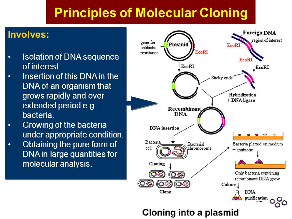 Principles of Molecular Cloning Involves: Isolation of DNA sequence of interest. Insertion of this DNA in the DNA of an organism that grows rapidly an