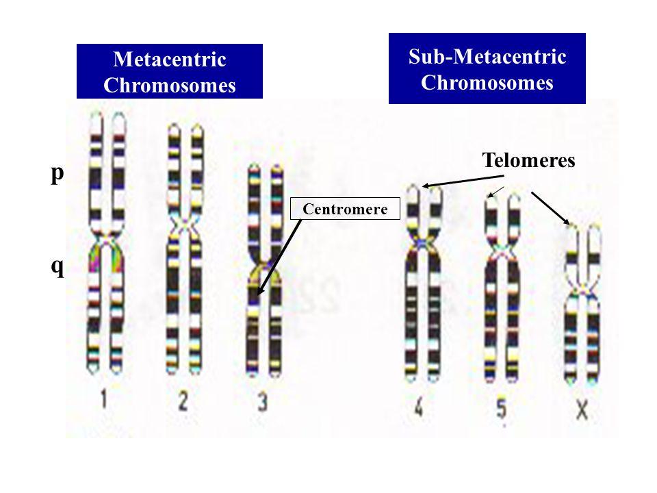 Metacentric Chromosomes Sub-Metacentric Chromosomes Centromere Telomeres p q