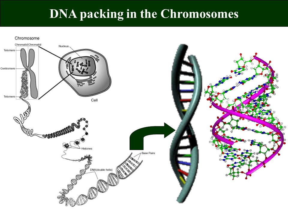 DNA packing in the Chromosomes