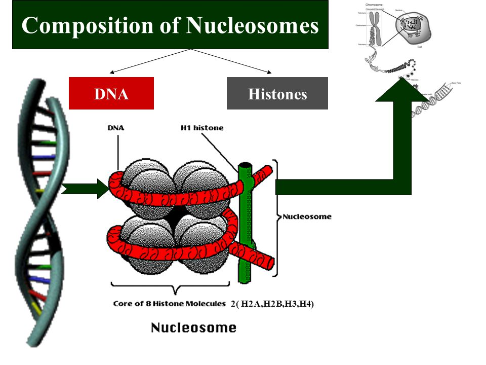 Composition of Nucleosomes DNAHistones 2( H2A,H2B,H3,H4)