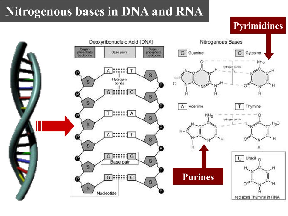 Nitrogenous bases in DNA and RNA Purines Pyrimidines