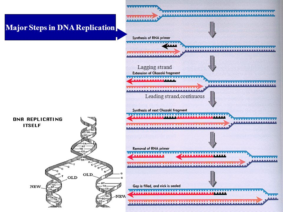 Major Steps in DNA Replication Leading strand,continuous Lagging strand