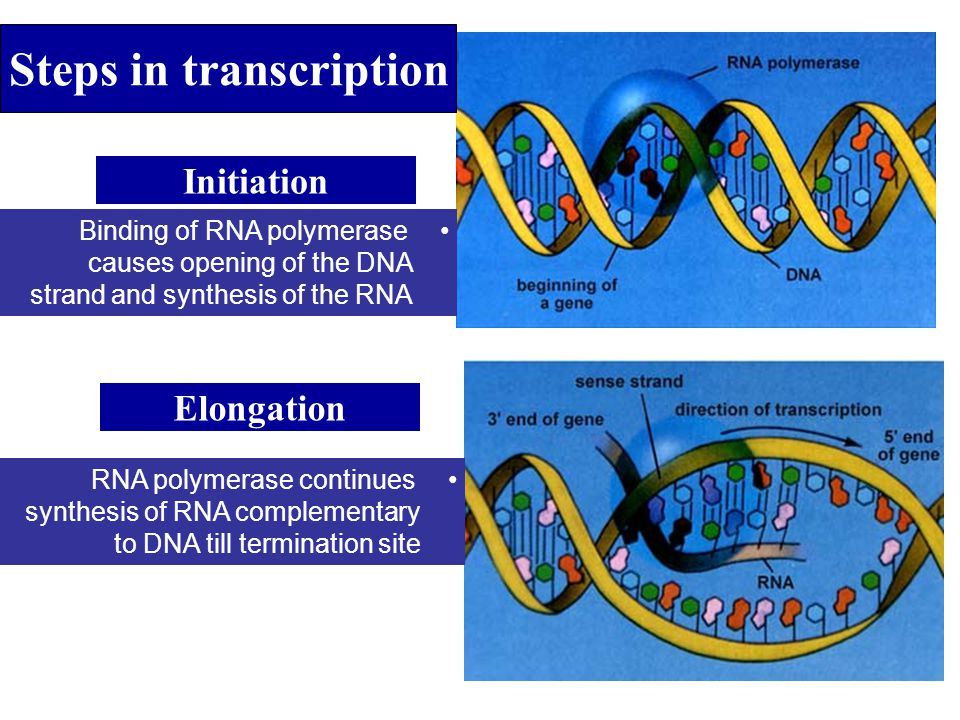 Steps in transcription Initiation Elongation Binding of RNA polymerase causes opening of the DNA strand and synthesis of the RNA RNA polymerase contin