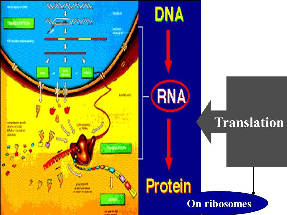 Translation On ribosomes
