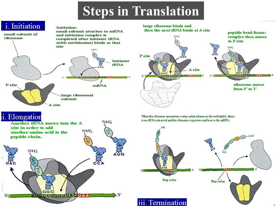 Steps in Translation ii. Elongation i. Initiation iii. Termination