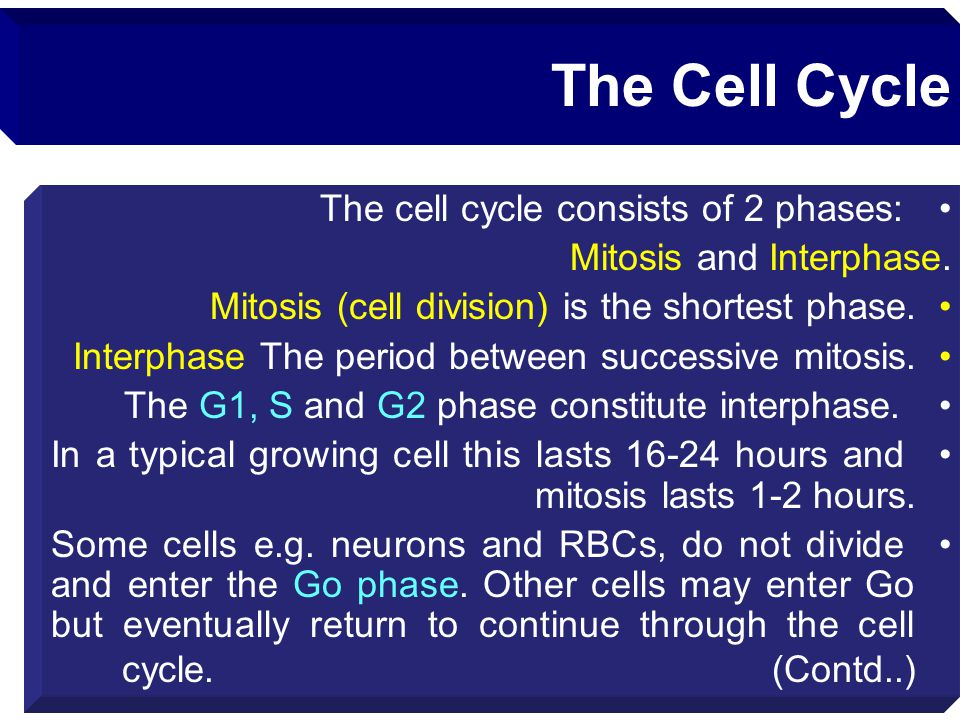 The Cell Cycle The cell cycle consists of 2 phases: Mitosis and Interphase. Mitosis (cell division) is the shortest phase. Interphase The period betwe