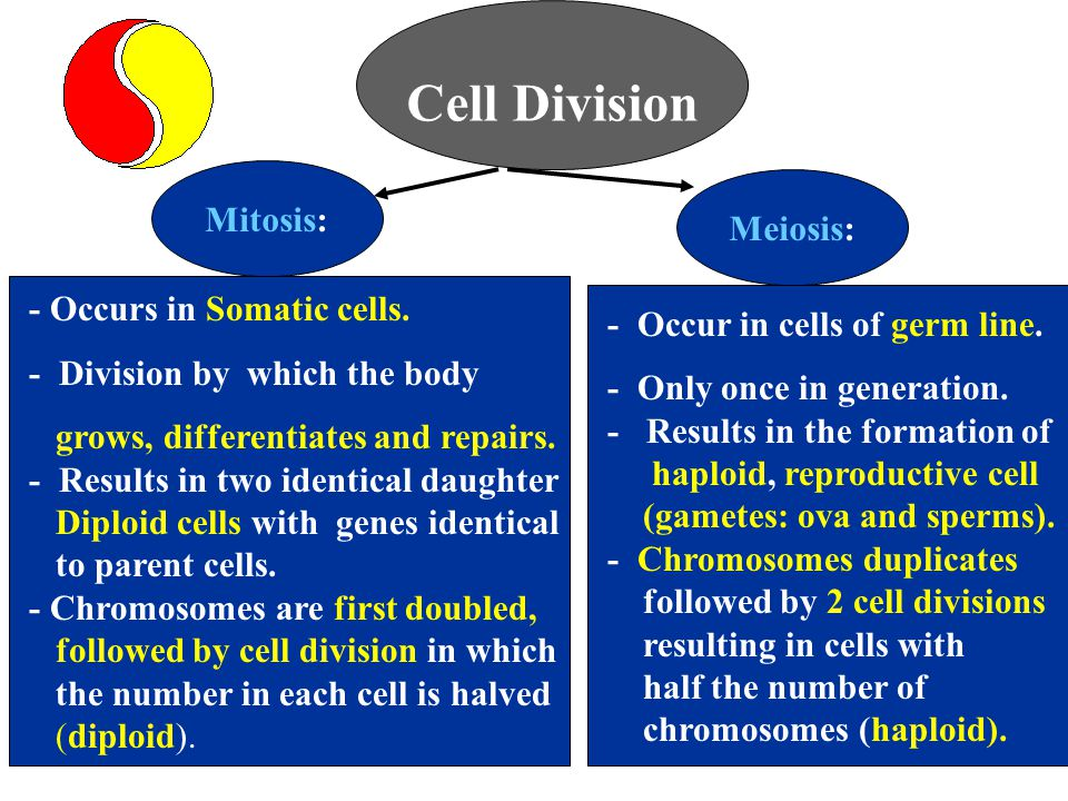 Cell Division - Occurs in Somatic cells. - Division by which the body grows, differentiates and repairs. - Results in two identical daughter Diploid c