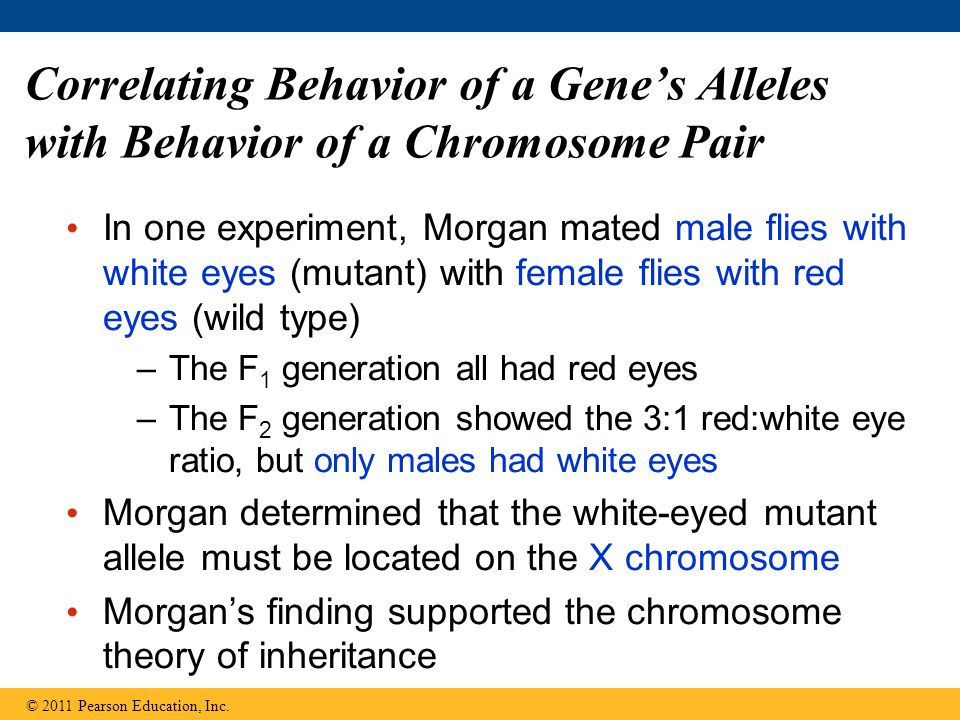 Correlating Behavior of a Gene's Alleles with Behavior of a Chromosome Pair In one experiment, Morgan mated male flies with white eyes (mutant) with female flies with red eyes (wild type) –The F 1 generation all had red eyes –The F 2 generation showed the 3:1 red:white eye ratio, but only males had white eyes Morgan determined that the white-eyed mutant allele must be located on the X chromosome Morgan's finding supported the chromosome theory of inheritance © 2011 Pearson Education, Inc.